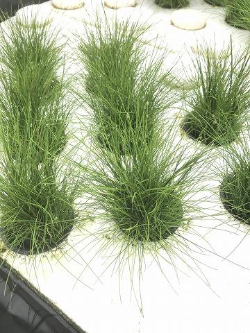 無農薬栽培 ショートヘアーグラス 水上 Lpot_20190213_1